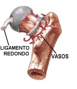 anatomia vascular