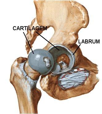 Anatomia - Cartilagem e labrum acetabular